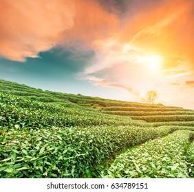 Tea plantation landscape at sunset
