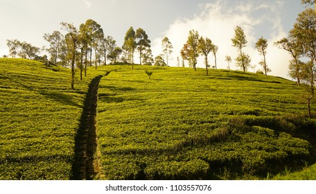 Tea plantation in Liptons Seat, Sri Lanka.