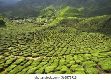 tea plantation located in cameron highland,pahang,Malaysia