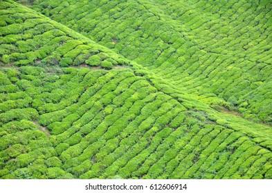 Tea plantation located in Cameron Highlands, Malaysia