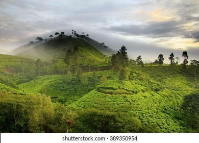 Tea Plantation Location Pan ga  le ngan West Java