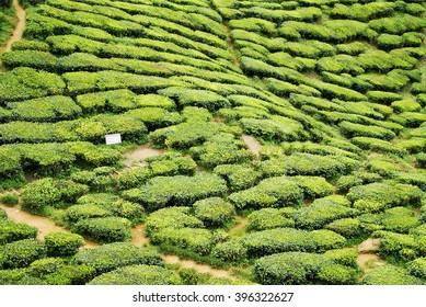 Tea plantation in Malaysia. Cameon Highlands tea, Asia spot