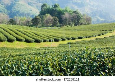 Tea plantation in morning sunlight, north Thailand