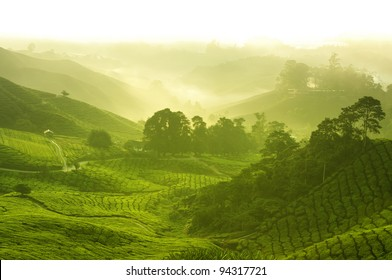 Tea plantation in  morning view, cameron highland malaysia