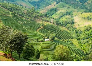 Tea plantation in mountain, Doi Mae Salong, Chiang Rai, Thailand