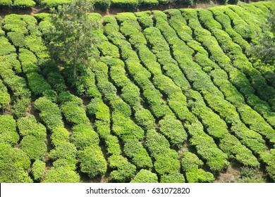 Tea plantation the mountain  vally