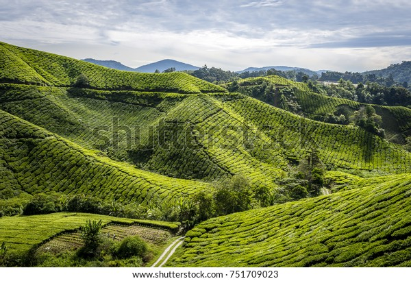 Tea plantation in the mountains of the cameron highlands in Malaysia with moody sky