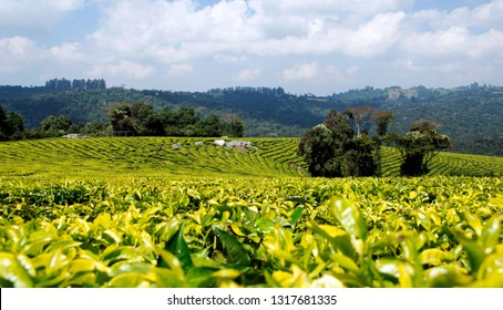 Tea plantation in Mufindi, Tanzania, Africa.