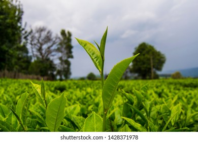 Tea plantation in Nandi Kenya