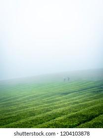 a tea plantation on the Azores. Called Plantacoes de Cha Gorreana