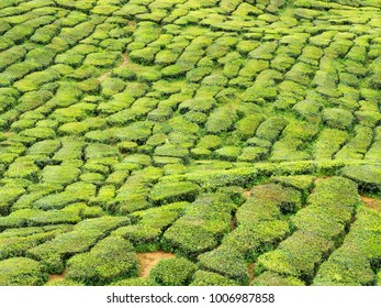 Tea plantation on hill in Cameron Highland, Malaysia