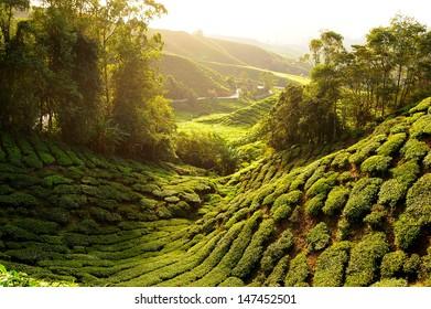 Tea Plantation on the Hill at Sunrise