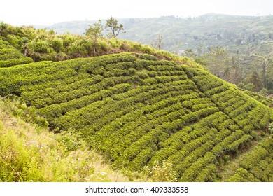 Tea plantation on the hillside