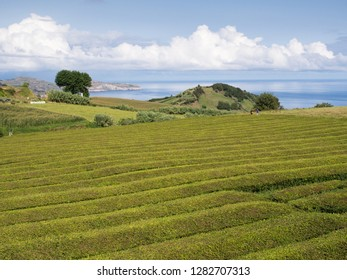 Tea plantation on Sao Miguel, Azores, Portugal