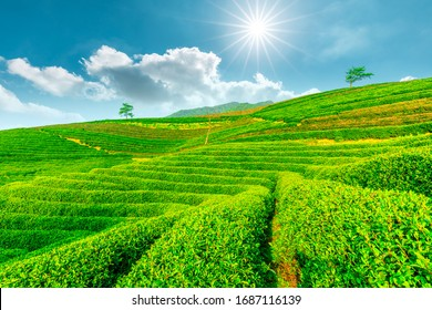 Tea plantation on sunny day,green nature landscape.