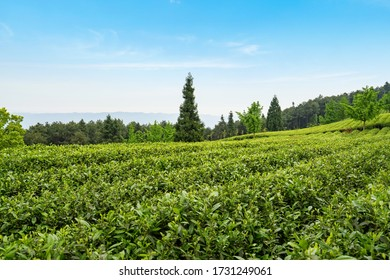 Tea plantation on the top of the mountain