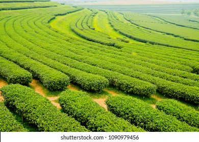 tea Plantation, Oolong tea farm, green landscape background, green leaf