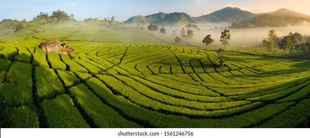 Tea plantation panorama with distant harvesters, at dawn; backdrop of mountains and orange glowing mist in trees; Ciwidey, Bandung, Java, Indonesia; sharp and high-resolution