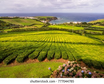 Tea plantation in Porto Formoso, Azores, Portugal, the only tea plantation in Europe.