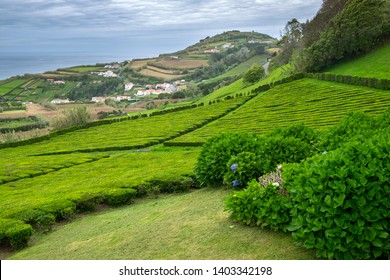 Tea plantation in Porto Formoso on the north coast of the island of Sao Miguel in Azores on a ocean and blue sky background.