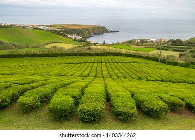Tea plantation in Porto Formoso on the north coast of the island of Sao Miguel in Azores.