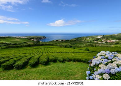 Tea plantation in Porto Formoso on the north coast of the island of sao miguel. The Azores are one of the main tourist destinations for holidays in Portugal.