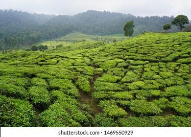 Tea Plantation Rancabali Ciwidey Bandung Indonesia