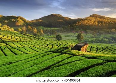tea plantation at Rancabali  west Java