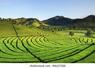 tea plantation Rancabali West Java