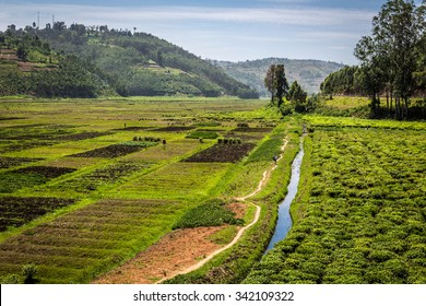 Tea plantation in Rwanda countryside, East Africa