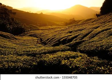Tea Plantation at Sunrise