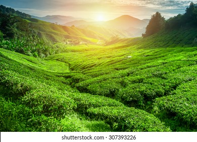 Tea plantation in sunset time. Nature background