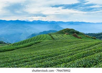 Tea Plantation Tai wan