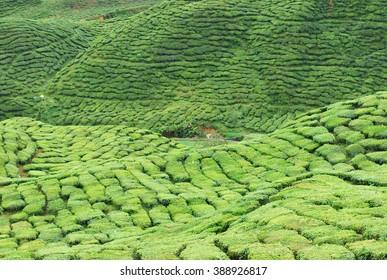 tea plantation terrace at Cameron Highland, Malaysia