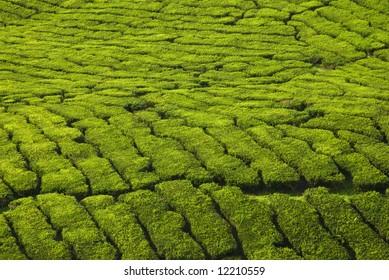 tea plantation texture