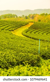 Tea plantation in Thai, Thailand.