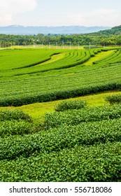 Tea plantation in Thai, Thailand.