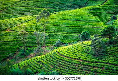 Tea plantation in with trees. Beautiful landscape