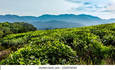 Tea plantation and tropical forest, sunny day, Rwanda, Nyungwe, wide format