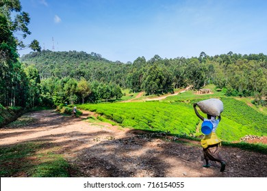 Tea plantation and tropical forest, sunny day, Rwanda,Nyungwe, selective focus