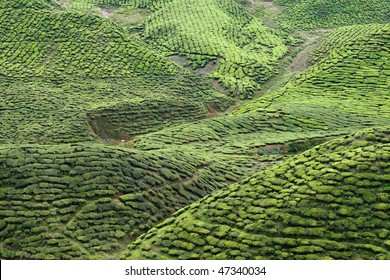 tea plantation view in morning