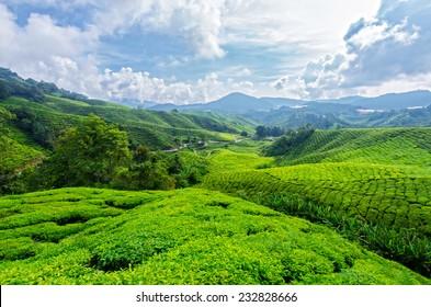 Tea plantation,Cameron Highlands