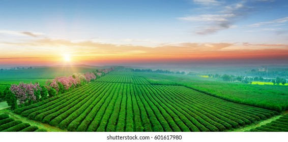 Tea plantation.Chinese tea.