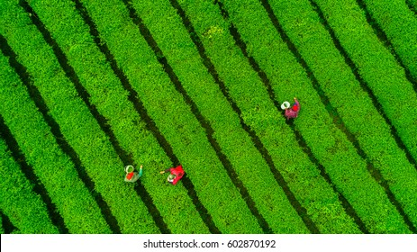 Tea plantation.Chinese tea.