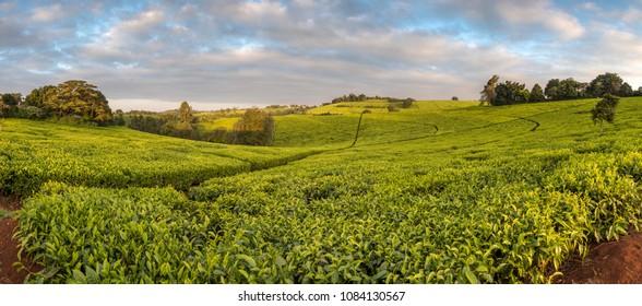 tea plantations in Africa