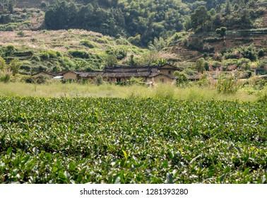 Tea plantations around stone home by Tulou at Unesco heritage site near Xiamen