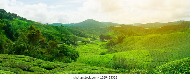 The tea plantations background , on Cameron highland , Malaysia