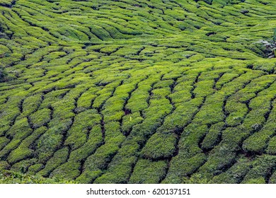 Tea plantations in the Cameron Highlands of Malaysia