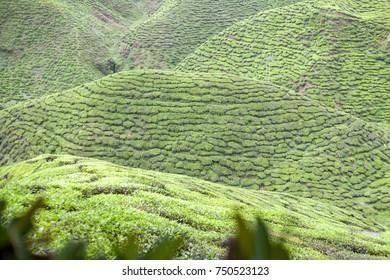 Tea Plantations at Cameron Highlands Malaysia, Asia.selective focus