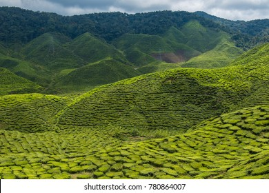 Tea plantations in Cameron Highlands in Malaysia